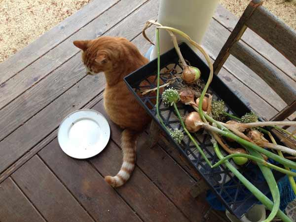 KikiMasthem_cat-onions