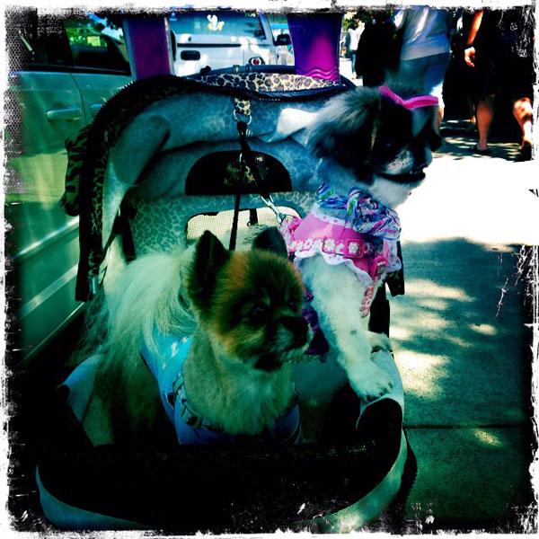 cute dogs in baby stroller